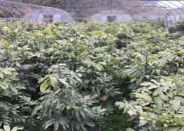 桂圆种苗基地