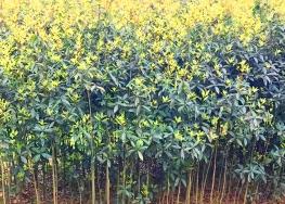 桂花经济苗