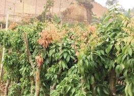 宜宾荔枝水果苗