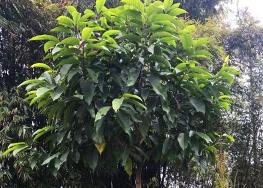 黄角兰树苗