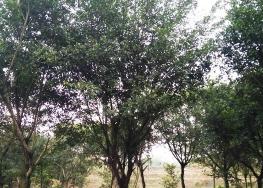 小叶榕树苗